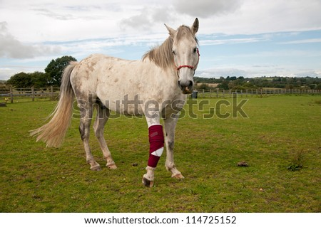 Horse with bandaged foreleg - stock photo