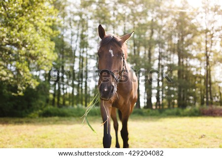Horse with hay in his mouth on the meadow, summer time - stock photo