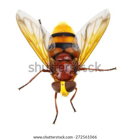 Horsefly isolated on white - stock photo
