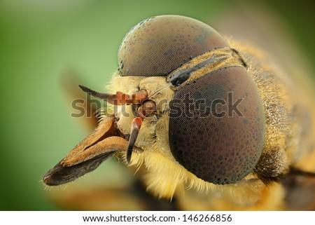 horsefly portrait - stock photo