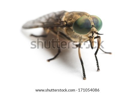 Horsefly viewed facing, Tabanus, isolated on white