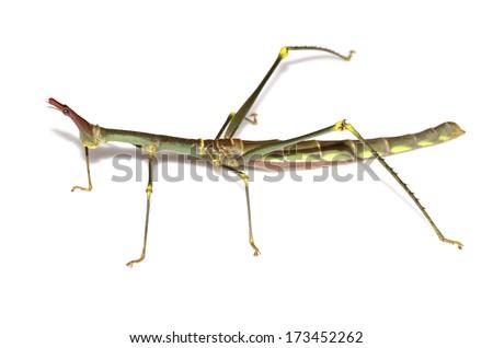 Horsehead grasshopper (Proscopiidae) - stock photo