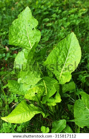 how to cook horseradish leaves