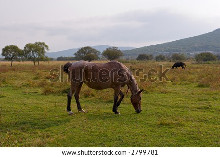 Horses are grazed on a meadow.Autumn.