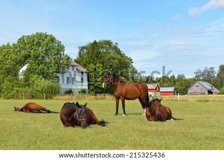 Horses at horse farm. Country landscape. Sleeping horse - stock photo