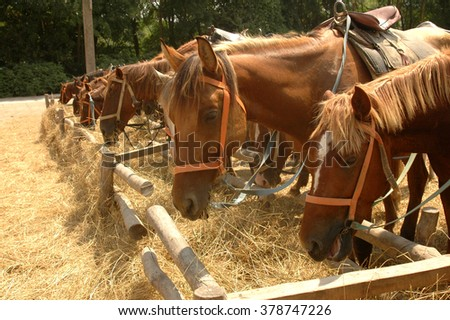 horses eat hay on sunny yard - stock photo
