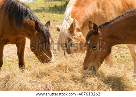 Horses eating hay in spring pasture