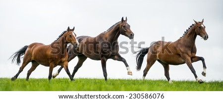 Horses galloping in a field - stock photo