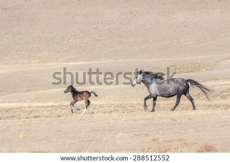 Horses galloping in Altai steppe in early spring - stock photo
