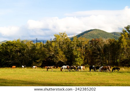 Horses graze in Cades Cove inside Great Smoky Mountains National Park - stock photo