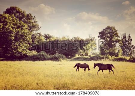 Horses graze in the meadow. Summer landscape. - stock photo