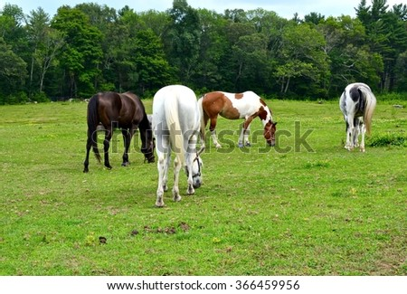 Horses grazing in a field. - stock photo
