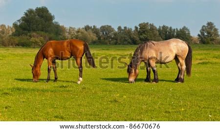 Horses grazing in grassland of National Park De Biesbosch in the Netherlands - stock photo