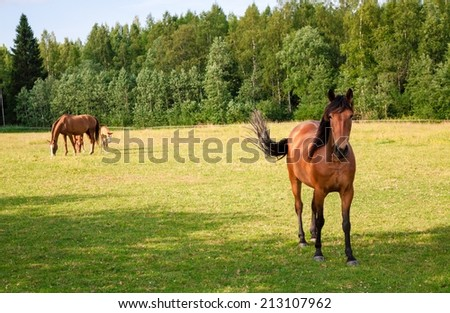 Horses grazing in the pasture at a horse farm - stock photo