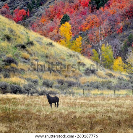 Horses grazing in valley of autumn aspen and maple trees - stock photo