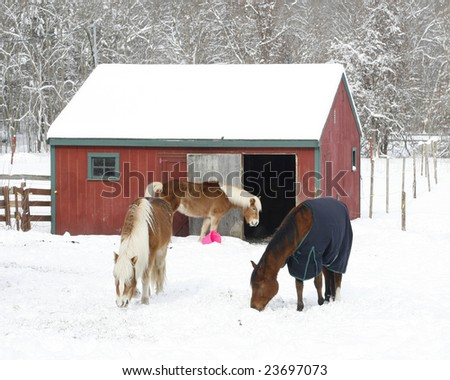 horses grazing in winter