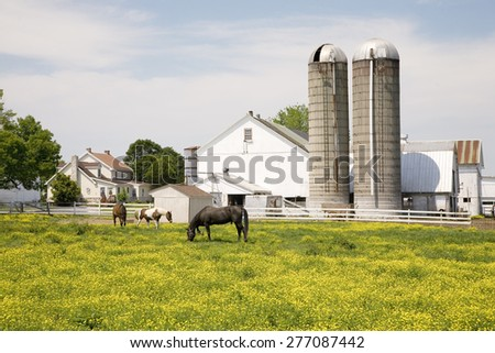 Horses grazing in yellow field in front of Pennsylvania-style barn and silos in Lancaster, Pennsylvania - stock photo