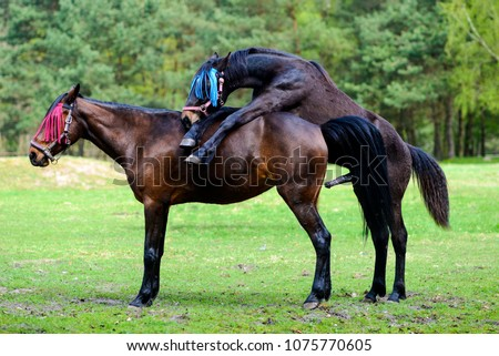 Horses Having Sex On Meadow Stock Photo (Royalty Free