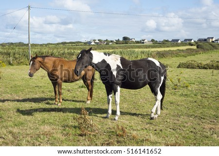 horses in a field near to the river shannon in county kerry ireland