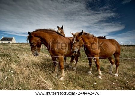 Horses in Brittany France on the pasture in Summer - stock photo
