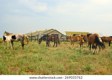 Horses in field, grazing and chilling in the meadow, herd of horses near the stables - stock photo