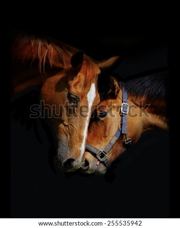 Horses love on a black background - stock photo