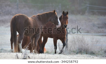 Horses - mares and stallions in their corral.  A frosty November morning finds horses in a corral , grazing, relaxing looking at camera,  morning - early sunrise. - stock photo