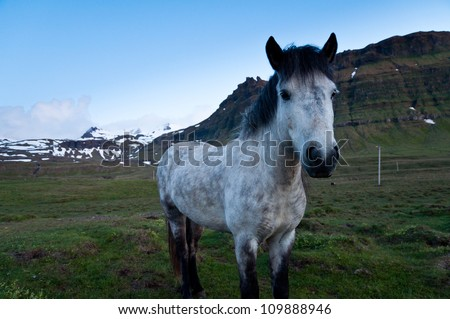 horses of Iceland grazing in the evening landscape - stock photo