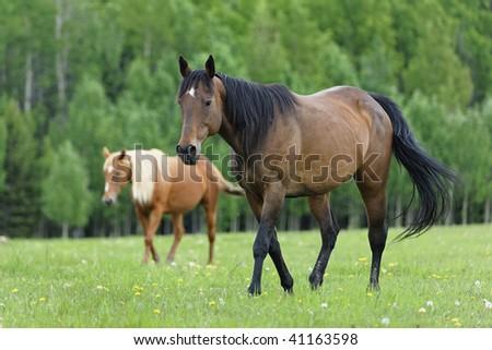Horses on a ranch outside of Calgary Alberta Canada. - stock photo
