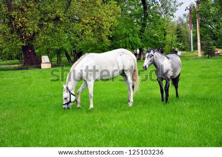 horses on meadow - stock photo
