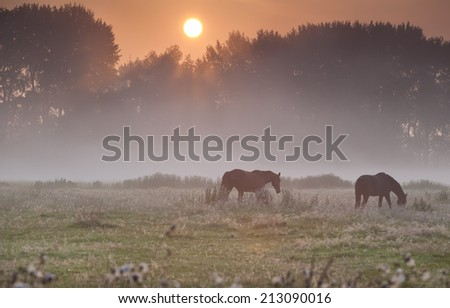 horses on misty pasture at summer sunrise