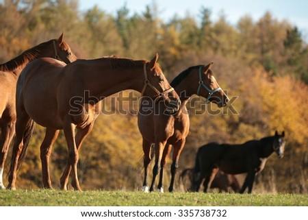 Horses on pasture. November, Poland. - stock photo