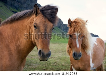Horses roaming free on an Icelandic farm - stock photo