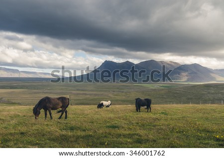 horses roaming freely in Iceland - stock photo
