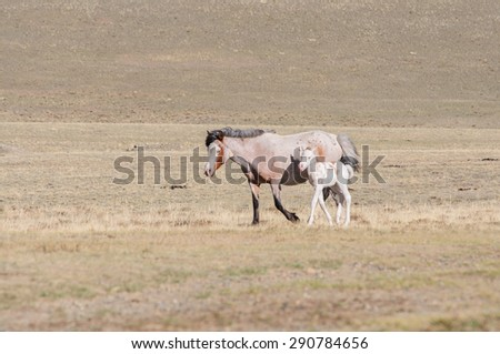 Horses striding in Altai steppe in early spring