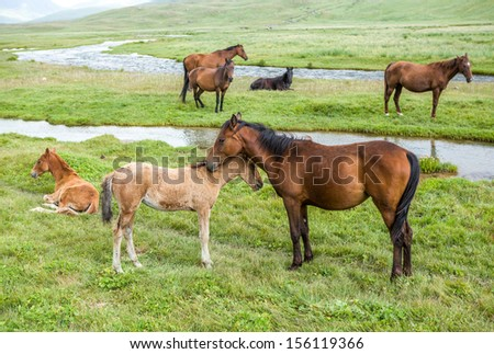 Horses with colts pasturing near the river - stock photo