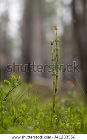 Horsetail, Equisetaceae - stock photo