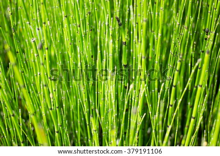 Hosetail herbal plants on top view - stock photo
