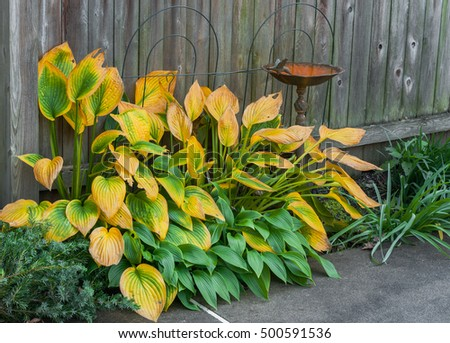 Hosta plant in autumn, with yellowing leaves, rusty cast iron bird bath, and weathered wooden fence.