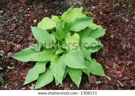 Hosta plant in garden - stock photo