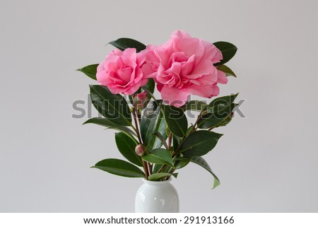 Hot pink camellia simply arranged with a white vase and a white background. One can almost smell the camellia right through the photo. Lovely for greetings cards or other ideas and concepts. - stock photo