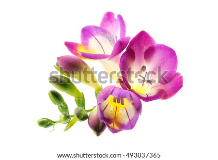 Hot pink freesia flower on white stock photo royalty free hot pink freesia flower on white background mightylinksfo