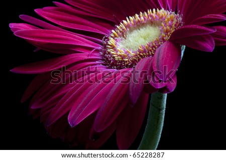 Hot Pink Gerber Daisy on Black background - stock photo