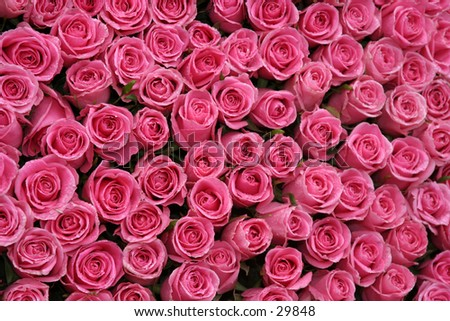 hot pink roses packed side by side