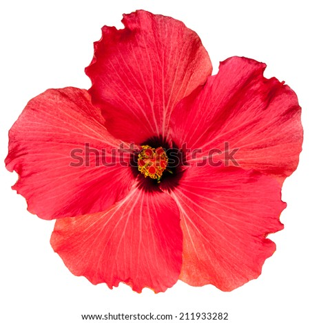Hot pink tropical hibiscus flower isolated on a pure white background
