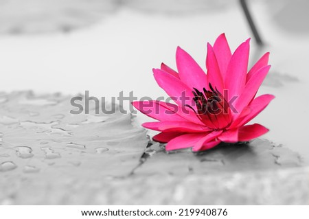 Hot Pink Water Lily in Black and White Background - stock photo