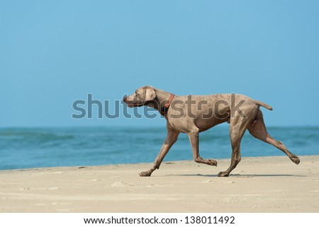 Hound dog runs happily on the seashore - stock photo
