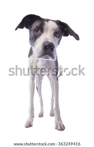 Hound dog standing looking down isolated on white