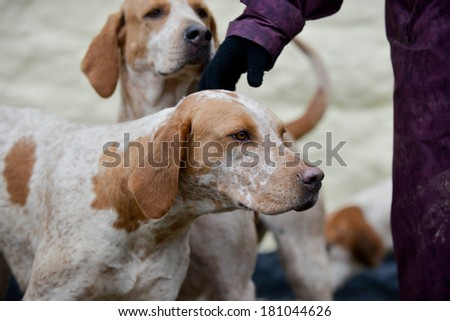 Hound enjoys a fuss as it waits at meet to go out drag hunting in the UK