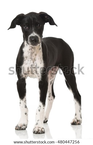 Hound Puppy isolated on white